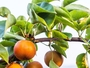 Subarashii Kudamono - Wonderful Fruit